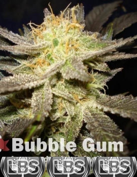 Bubble Gum seeds for sale