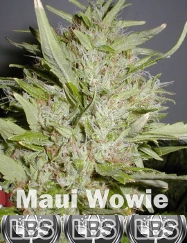 Maui Wowie seeds for sale