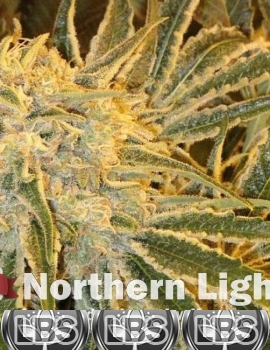 Northern Lights Seeds