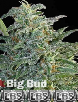 Big Bud Seeds