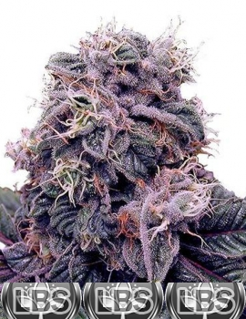 Blackberry Kush Seeds
