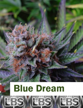 Blue Dream Seeds