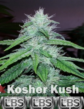 Kosher Kush Seeds