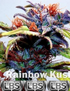 Rainbow Kush seeds for sale