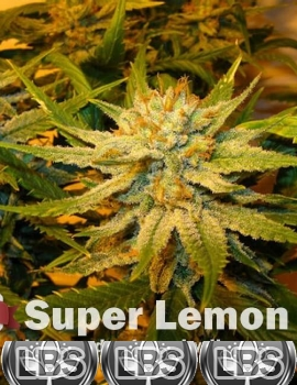 Super Lemon Haze Seeds