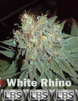 White Rhino Seeds