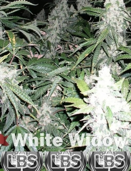 White Widow seeds for sale