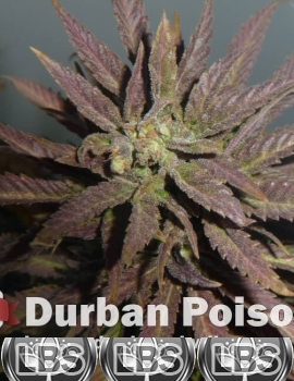 Getting Indoor Seeds, Get Marijuana Seeds For Sale | Lockbox